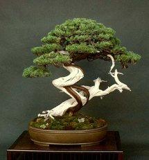 Liporace_Juniperus_Chinesis_5
