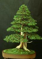 Liporace_JuniperusRigida_1