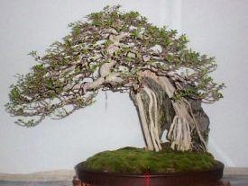 Manila_Bonsai_Show_Ficus-1