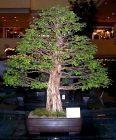Manila_Bonsai_Show_logwood-1