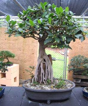 Moreton Bay Fig Ficus macrophylla 1958