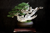 Mugo-Bonsai-Creativo-School