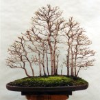My-maple-forest-pictures