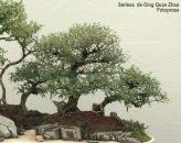 Bonsaï & Penjing - Snow rose - Serissa Japonica - Rubiaceae - 25