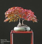 pall_japanese_maple