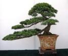pine3