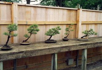 pines-slanting-to-the-right