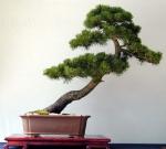 Pinus1