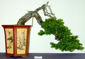 Pinus%20cascade%203