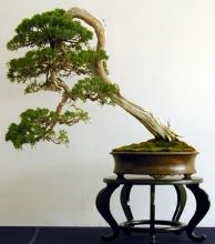 Pinus5