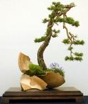 Pinus76