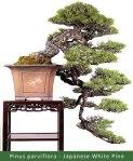 small_Gallery16—Pinus-par