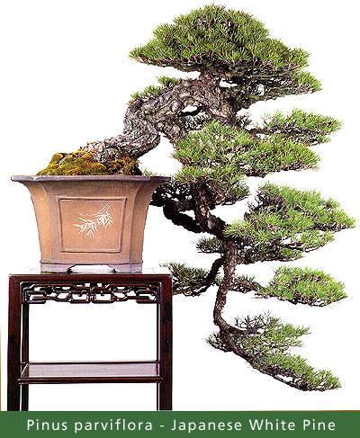 small_Gallery16---Pinus-par