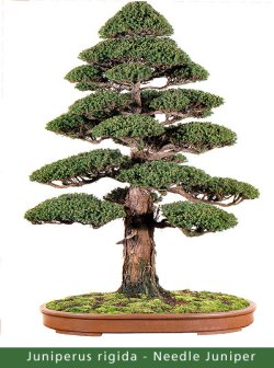 small_Gallery5---Juniperus-