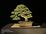 Thomas_Mozden_gallery_Juniper_Procumbens2