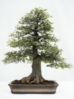 Trident maple M Treasure