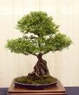 Ulmus parvifolia 'Suberosa' 01