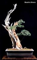 3B - Taxus Cuspidata altuta 103cm