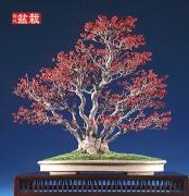bonsai052