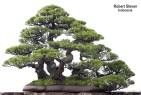 casuarina-equisetifolia-r-steven-371