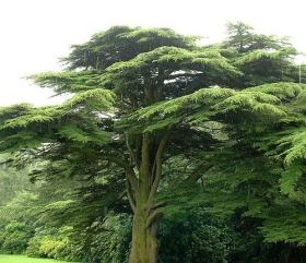 cedrus%20at%20tatton%20park3%20aug04%20500
