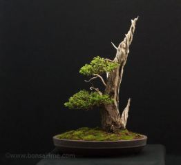 chamae bonsai
