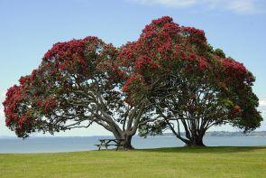 CHRISTMAS IN NATURE - Pohutukawa Tree (aka Christmas Tree)