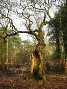 hollow_oak_norfolk_170204