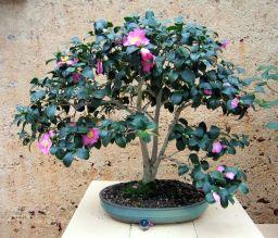 Camellia - Camellia japonica - 1964