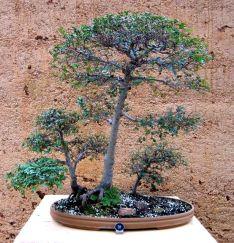 Chinese Elm - Ulmus parvifolia - 1985