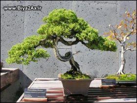 Japanese_Bonsai_Trees_4