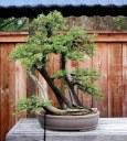 Juniperus californica 01