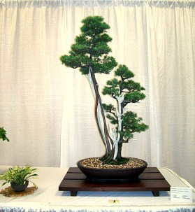 Juniperus rigida 01