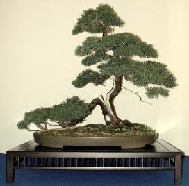 juniperus_sargentii