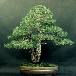 Liporace_PinusSylvestris_3