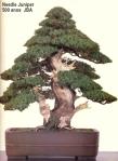 Needle juniper – 500 anos –75cm