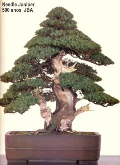 Needle juniper - 500 anos - 75cm