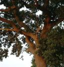 Oak%20deadwood3%20at%20Narborough