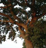 Oak%20deadwood3%20at%20Narborough