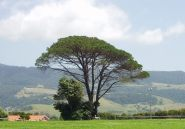 Pine_New_South_Wales