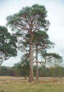 scots_pine_west_acre