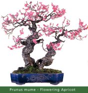 small_Gallery10---Prunus-mu