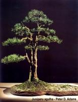 Soju bonsai 1