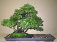 Ulmus parvifolia 06