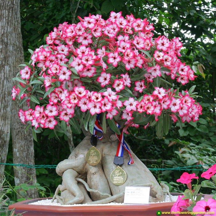 05 aido bonsai - Cultivo de bonsai ...