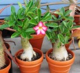 Adenium in Flower 2