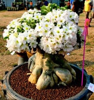 Adenium obesum aido bonsai - Cultivo de bonsai ...