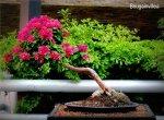 phoca_thumb_l_Bungainvillea pink pixie Trinitaria InclinadoDdP