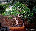 phoca_thumb_l_Calliandra schultzei Cuji de jardin Doble troncoDdP