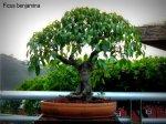phoca_thumb_l_Ficus benjamina Matapalo AparaguadoRR